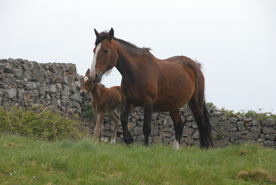 Horse and foal on our hike to Dun Aenghus