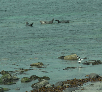 Seals sunbathing on Inishmore, Aran Islands
