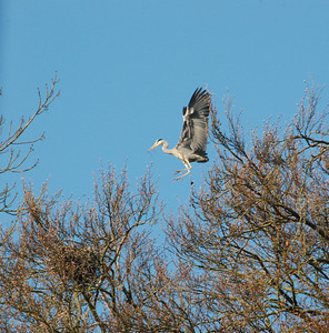 Heron coming in for a landing outside our room at the Maltings